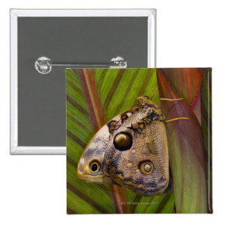 Large owlet Butterfly (Opsiphanes tamarindi) 2 Inch Square Button