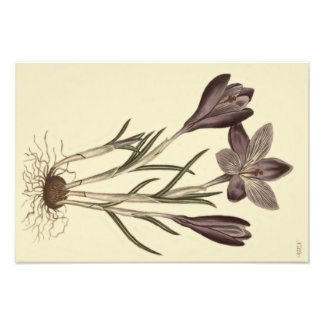 Large Purple Spring Crocus Botanical Illustration Photo Print