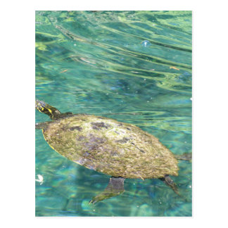 large river turtle swimming postcard