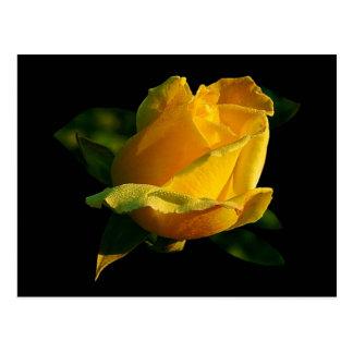 Large Yellow Rose Postcard
