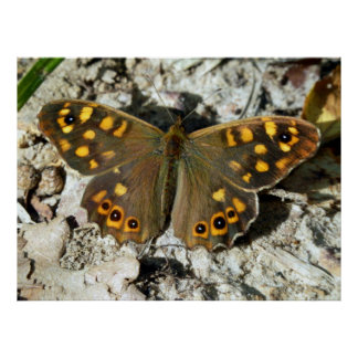 Lasiommata Westwood Butterfly Poster