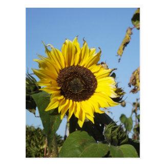 Late Season Sunflower Postcard