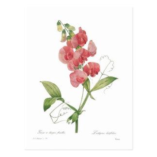 Lathyrus latifolius postcard