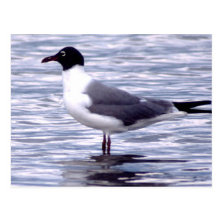Laughing Gull Postcard
