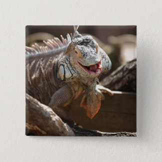 Laughing Iguana Photo 2 Inch Square Button