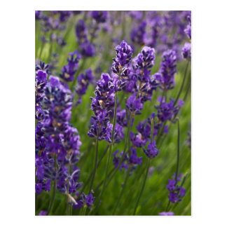 Lavendar | Lavendel Postcard
