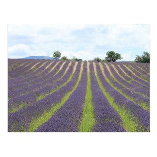 Lavendel Field in the Provence Postcard
