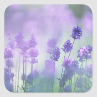Lavender 2 square sticker