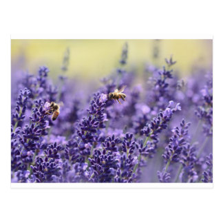 Lavender and Bees Postcard