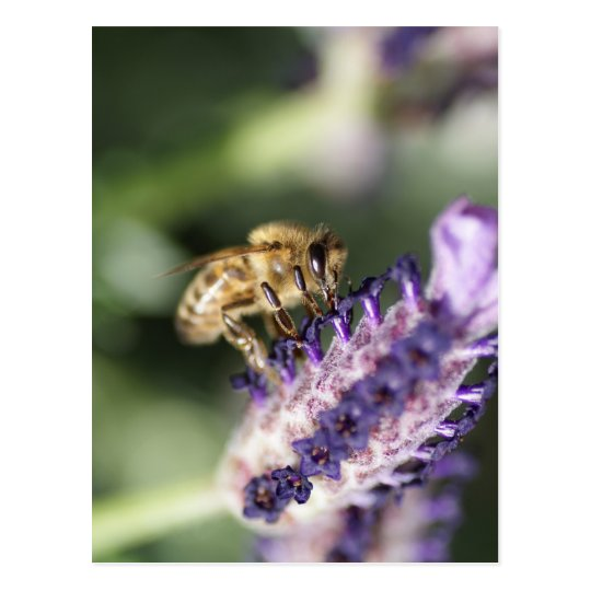 Lavender Bee Postcard