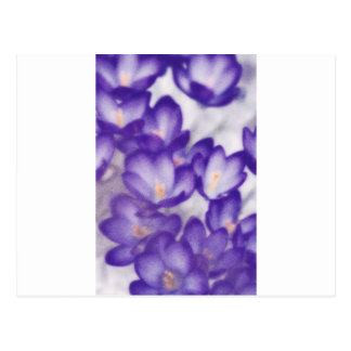 Lavender Crocus Flower Patch Postcard