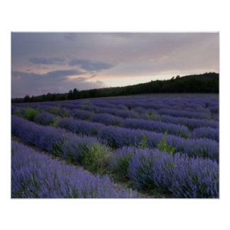 Lavender field at sunset poster