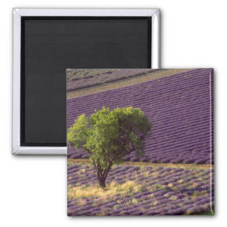 Lavender field in High Provence, France Magnet