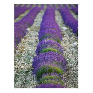 Lavender field, Provence, France Postcard