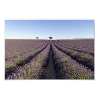 Lavender fields in Provence Photo Print