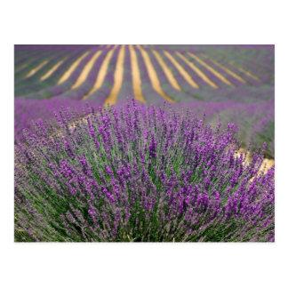 Lavender Fields of Provence, France Postcard
