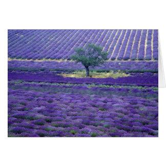 Lavender fields, Vence, Provence, France Card