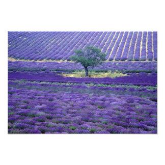 Lavender fields, Vence, Provence, France Photograph
