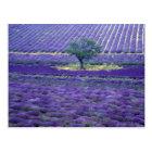 Lavender fields, Vence, Provence, France Postcard