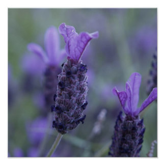 Lavender Flower Photo Poster Print