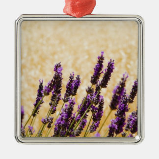 Lavender flowers in a field, Siena Province, Silver-Colored Square Ornament