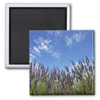 Lavender flowers in field on blue sky in summer, magnet
