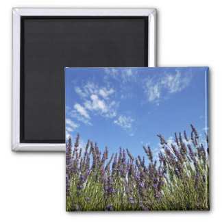 Lavender flowers in field on blue sky in summer, square magnet