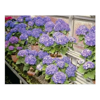 Lavender Hydrangea Macrophylla 'Enziandom' flowers Postcard