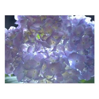 Lavender Hydrangeas Postcard