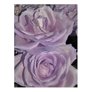 Lavender Roses collection Postcard