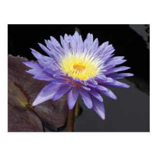 Lavender Water Lily Postcard