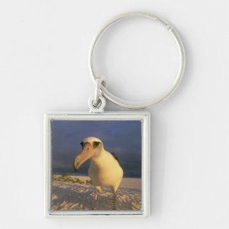 Laysan Albatross, Diomedea immutabilis), Keychain