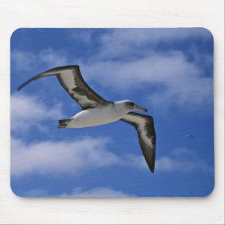 Laysan albatross flying in air mouse pad