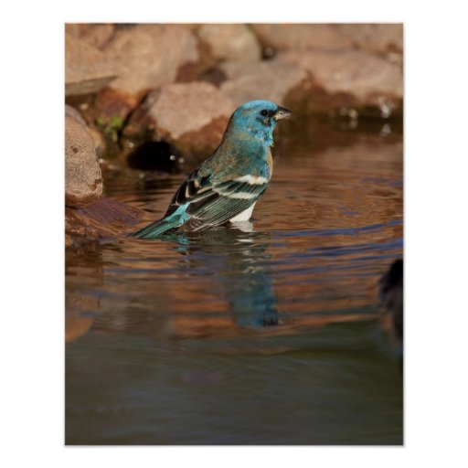 Lazuli Bunting (Passerina amoena) bathing in Posters