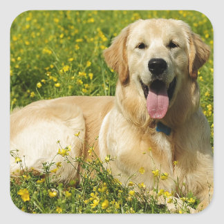 Lazy Golden Square Sticker