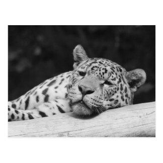 """Lazy Leopard"" Postcard"