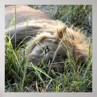 Lazy Lion Poster