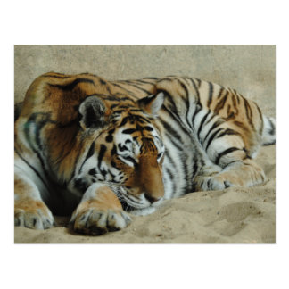 Lazy Tiger Stunning Big Cat Photo Postcard