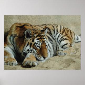 Lazy Tiger Stunning Big Cat Photo Poster