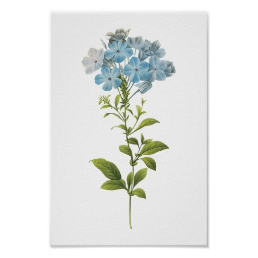 leadwort(Plumbago caerulea) by Redouté Posters
