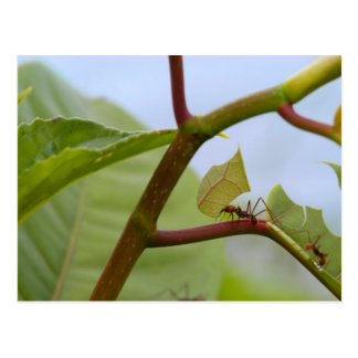 Leaf cutting ants postcard