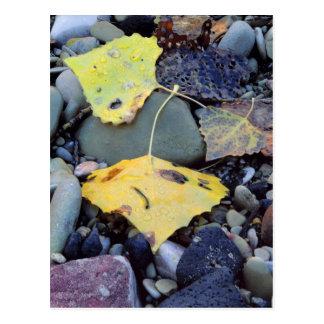 Leaf of Fremont cottonwood on flood plain 2 Postcard