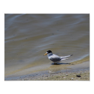 Least Tern Photo 14x11 Canvas Poster Print