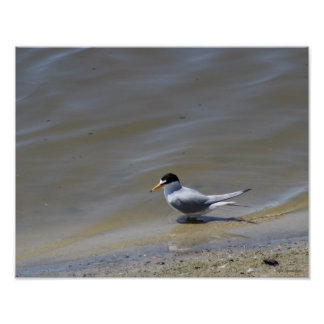 Least Tern Photo 14x11 Semi-Gloss Poster Print