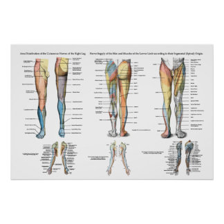 Leg Nerve Innervation of Lower Extremities Poster