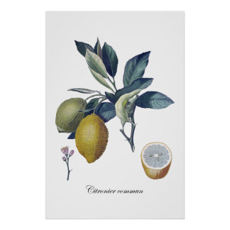 LEMON study botanical vintage poster
