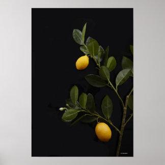 Lemons still on their Branch Poster