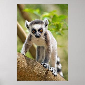 Lémur anneau-coupé la queue par bébé affiches