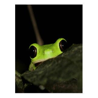 Lemur leaf Frog Postcard