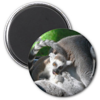 Lemurs Eating 2 Inch Round Magnet